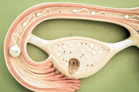 uterus of human with old color style