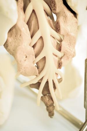 Mensch Zurück Knochenmodell Mit Alten Farbe, Stil Lizenzfreie Fotos ...