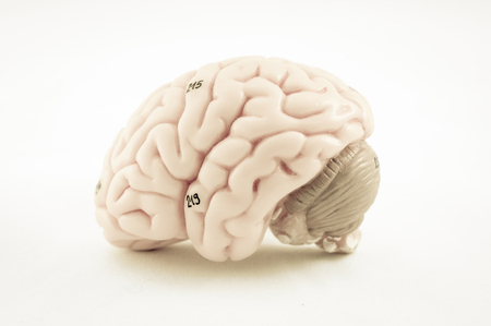 medulla: human brain model with old color style Stock Photo