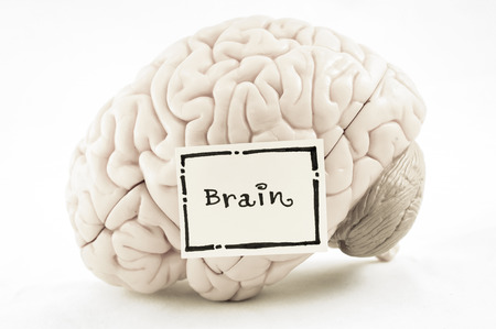 brain function: human brain model with old color style Stock Photo