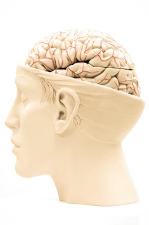 brain illustration: brain of human model Stock Photo