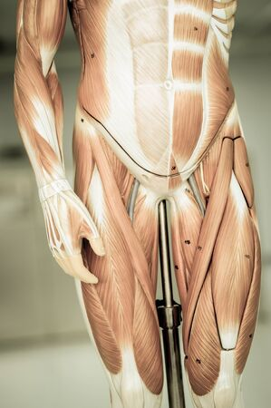 body parts: muscle of human body parts with old style Stock Photo