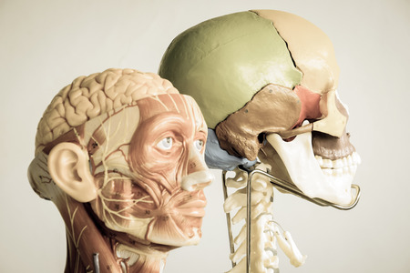head human anatomy model with old style, selective focus Stock Photo