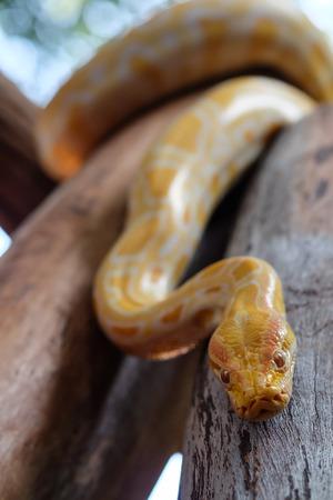 herpetology: python snake