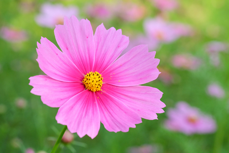 filed: beautiful cosmos flower in the filed