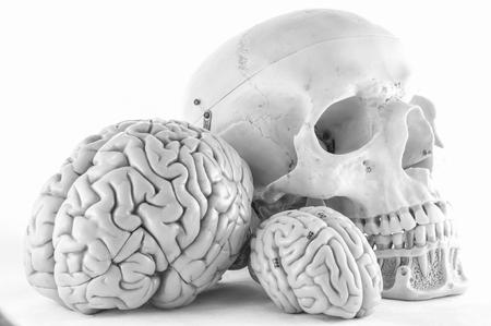 skull and brain Stock Photo