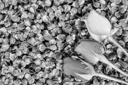 rose flower Stock Photo