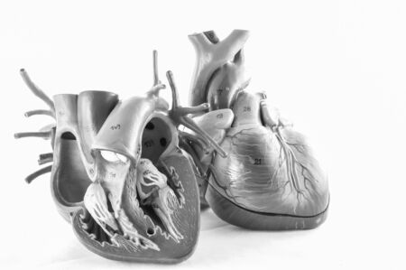 human heart anatomy model