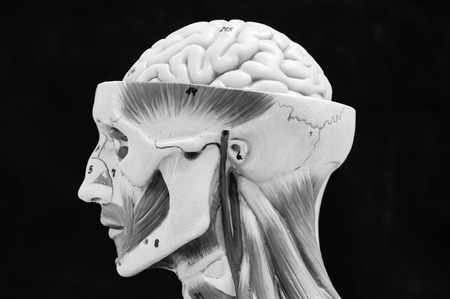 anatomy of head human muscle model with black and white color