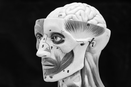 radiogram: anatomy of head human muscle model with black and white color