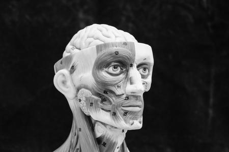 Anatomie Des Kopfes Menschliches Muskelmodell Mit Schwarz-Weiß-Farbe ...