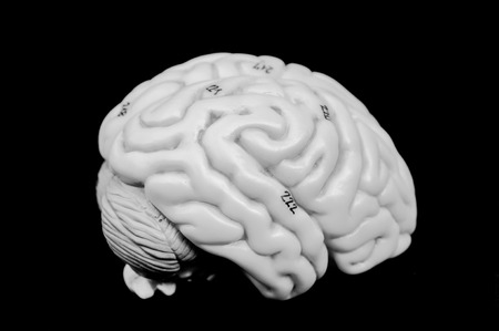 anatomy of human brain model with black and white color