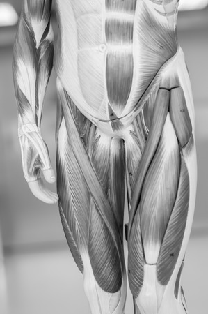 radiogram: anatomy of human muscle model with black and white color Stock Photo