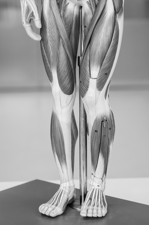 anatomy of human muscle model with black and white color Stock Photo