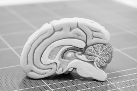 artificial model: anatomy of human brain model with black and white color