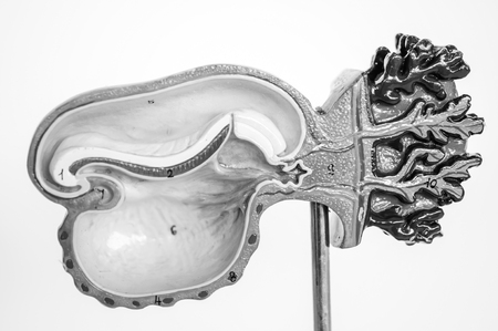 cell of fetus human model anatomy with black and white color concept