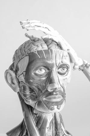 mięśnia ludzkiego modelu anatomicznego z czarnym i białym kolorem