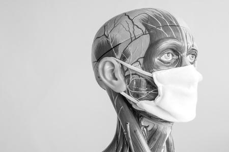 Músculo Del Modelo De Anatomía Humana Con Color Blanco Y Negro Fotos ...