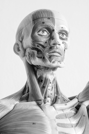 muscle of human anatomy model with black and white color