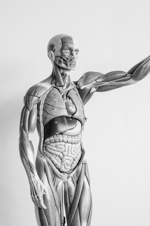้human anatomy model with black and white color