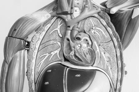 ้human anatomy model with black and white color Banque d'images - 120538834