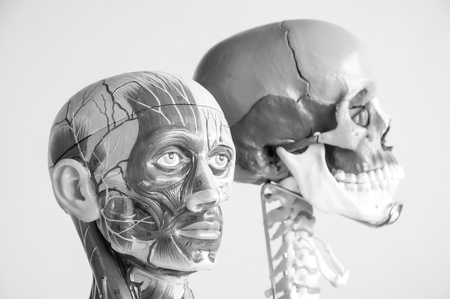 skull and head anatomy model with black and white color