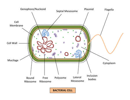 DIAGRAM SHOWING DIFFERENT PARTS OF A BACTERIAL CELL