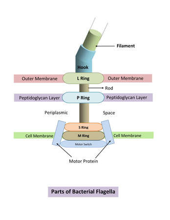 DIAGRAM SHOWING DIFFERENT PARTS OF A BACTERIAL FLAGELLA