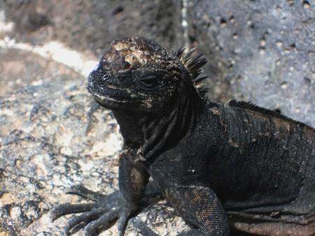 herpetology: Portrait of a marine iguana, Galapagos Stock Photo