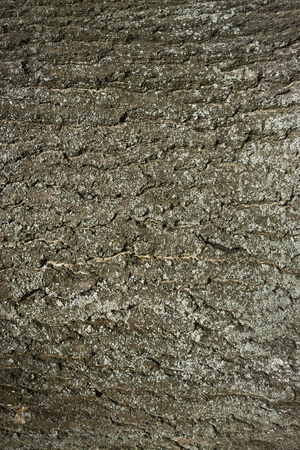 Oak bark texture. Tree bark background. Texture of tree bark.