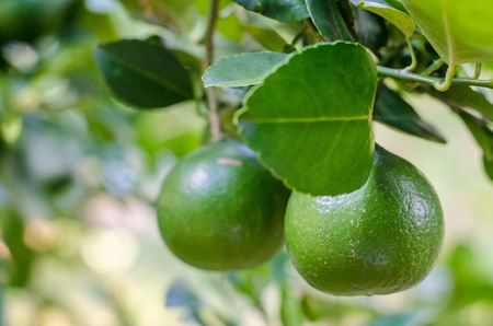 The lemons on the lemon tree in organic garden in Thailand  photo
