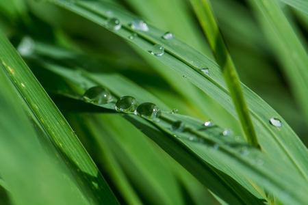 dew on leaf green grass