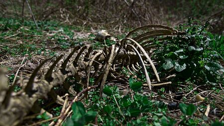 Animal deer skeleton that has decomposed slowly in a field with green foliage around through the carcass bones skull and ribs
