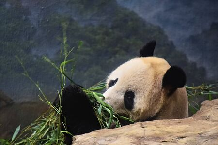 A Giant Panda chews on bamboo chutes while leaning against a rock in a zoo exhibit looking at people through glass window.