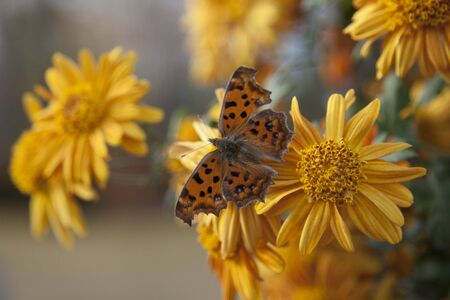 yellow tigers: Butterfly
