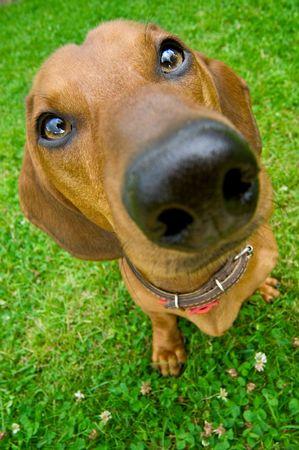 brown dachshund sitting on the green grass photo