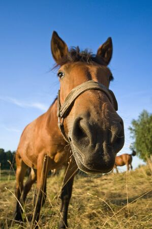 nostril: close up of horse in the summer meadow  Stock Photo