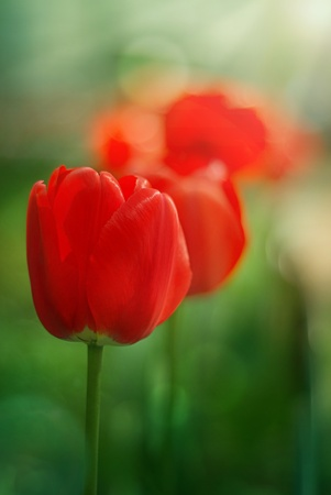 red garden tulips over soft green background