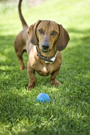 nosy brown dachshund with blue ball next to him