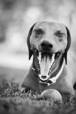 yawning dachshund showing his teeth, in black and white Standard-Bild