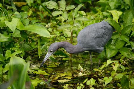 blue heron: blue heron hunting for food in swamp