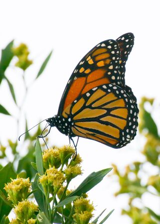 monarch butterfly getting nectar from yellow flower