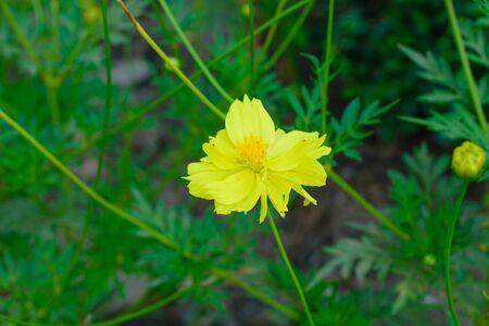 asteraceae: Coreopsis is a genus of flowering plants in the family Asteraceae.