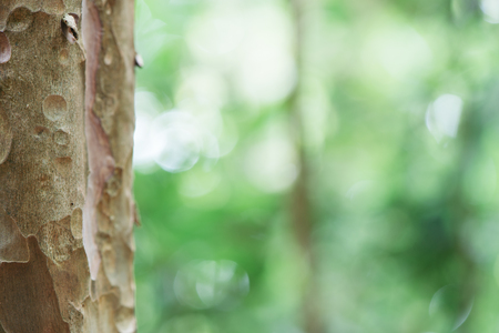 eucalyptus tree: Eucalyptus tree trunk closeup.Green leaves background.  Stock Photo
