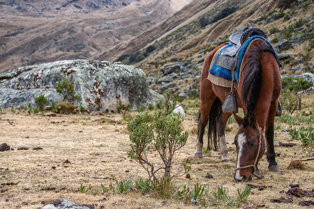 A saddled horse grazing in the mountains in Perus region of Huaraz. Stock Photo
