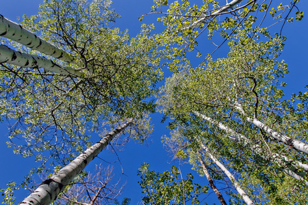Skyward view of clustered aspen trees.