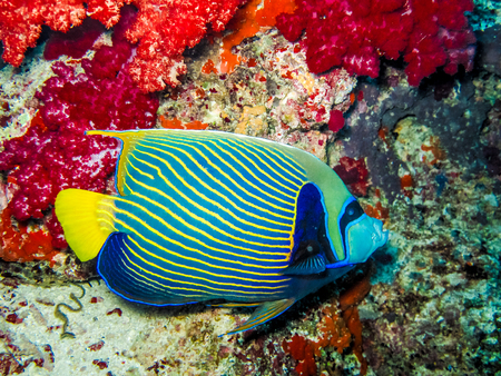 Angelfish swims along a coral reef