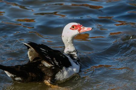 Muscovy Duck.