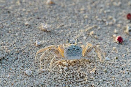 Atlantic ghost crab stands motionless on the beach.