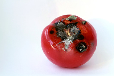 spoiled rotten one red tomato in isolated mold